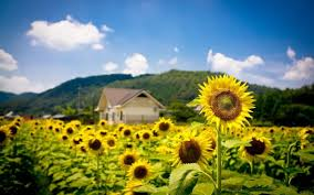 Tổng hợp giấc mơ thấy hoa hướng dương