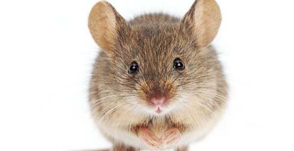 Nằm mơ thấy con chuột báo hiệu điều gì?
