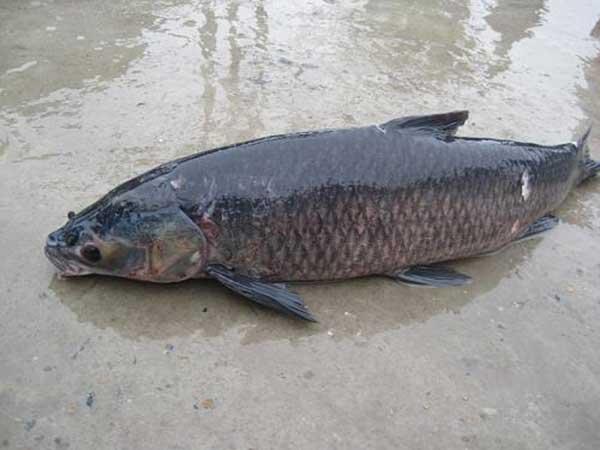 Mơ thấy cá màu đen điềm báo gì đánh số gì thì trúng lớn